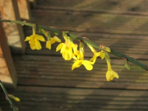 Trying out the 'Flower' setting - Winter Jasmine