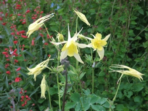 Aquilegia from Liga