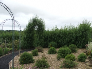 Willow Fence in full growth