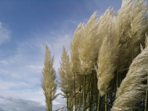 Pampas at its best!