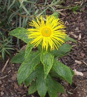 I think this is 'Inula hookeriie'