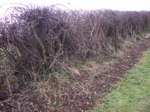 Hedgerow tidied yesterday
