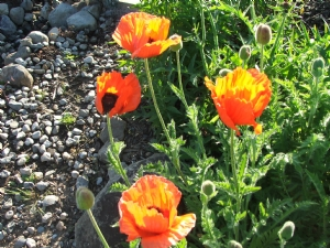 Glorious Poppies