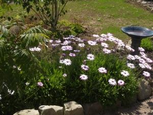 Osteospermum in sunshine