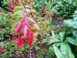 Fuchsia Ricartonii