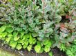 Sedum and friend
