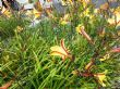 Unual Day Lily