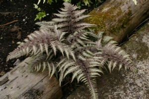 Fern of the day
