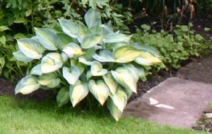 'June' hosta for Jacinta