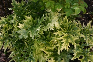 Acanthus Lady Moore