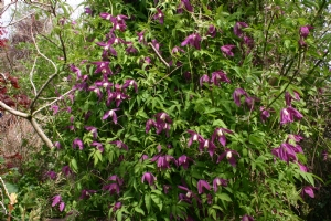 Clematis Francis Rivis