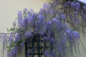 Another wisteria