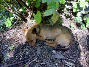 New puppy Freddie dozes under a nearby bush while I pick Blackcurrants.