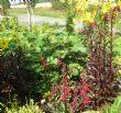 Ficus carica 'Brown Turkey' & Lobelia 16.8.11