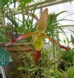 Orchid H, Phragmipedium longifolium x sargentianum