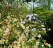 Rhododendrom yakushimanum 'Hoppy'