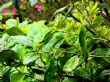 camellia sinensis 18.5.15