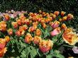 Tulipa 'Lambada' 22.4.12