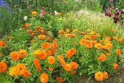Calendula 'Candyman Orange'