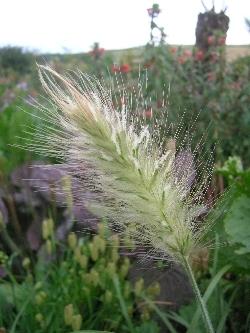 Pennisetum villosum 'Cream Falls'
