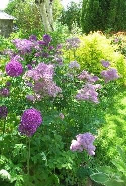 Thalictrum aquilegifolium & Allium