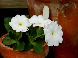 Dividing Primroses, with a Cold, Assisted by Slugs