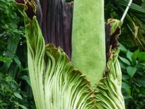 Amorphophallus titanum, Kew Gardens