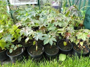 Ricinus for Keego