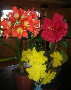 Clivia miniata, Hibiscus & Daffodils