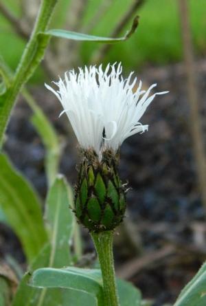 Shelser's Centaurea