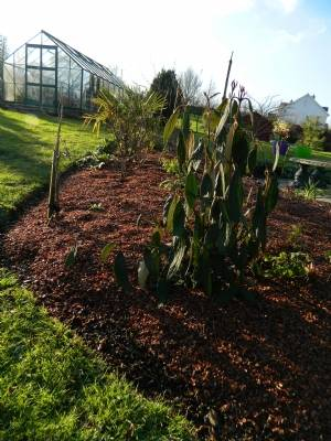 Viburnum rhytidophyllum etc