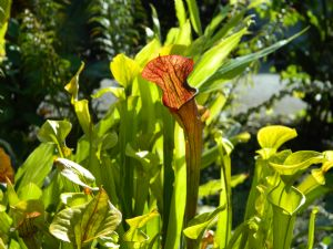September Sarracenia Care