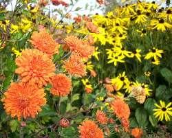 Chrysanthmum & Rudbeckia