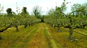 Apple Blossom Walk