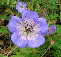 self seeding Geranium