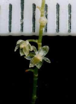World's Smallest Orchid Discovered