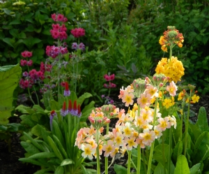 Pleased with Primulas