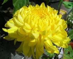 Chrysanthemum 'Alec Bedser'