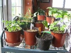 Arisaema Seedlings