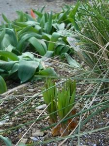 Eremerus & Tulips