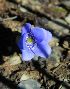 Hepatica 'Blue Jewel'