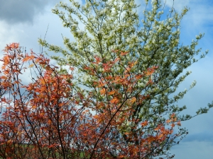 Acer and Amelanchier