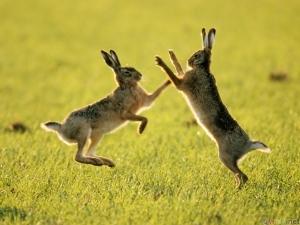 Hares boxing (net photo)