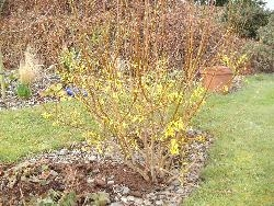 Badly Pruned Forsythia