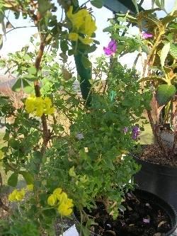 Coronilla glauca & Polygala myrtifolia