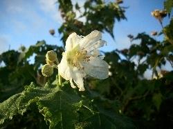 Abutilon vitifolium 18.11.10