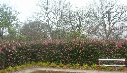 a Cemellia hedge to die for