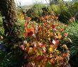 Disanthus cercidifolius 15.10.12