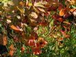 Cotinus & Helenium 'Moorheim Beauty' 15.10.12