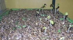 okra seedlings